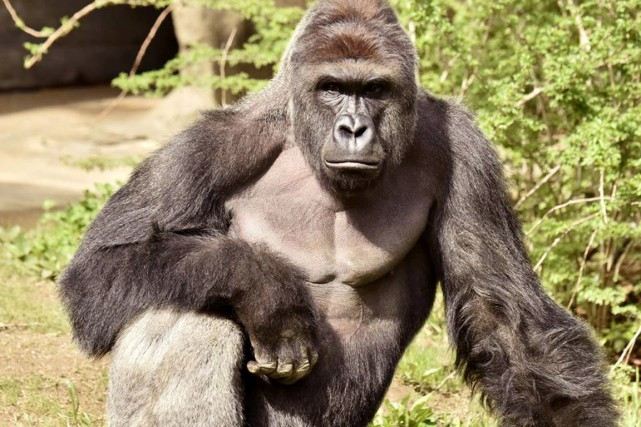Harambe, un gorille pesant plus de 180 kilogrammes,... (Photo Reuters)