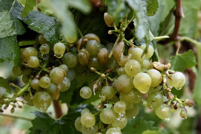 Des grappes de raisins abimées par la grêle... (PHOTO ERIC FEFERBERG, ARCHIVES AFP)