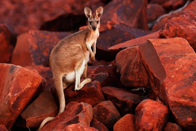 Un kangourou a provoqué la rupture des implants mammaires d'une cycliste en lui... (Photo Daniel Munoz, archives Reuters)