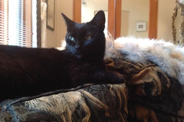 Violetta est une chatte de gouttière toute noire... (photo fournie par Chrystine Brouillet)