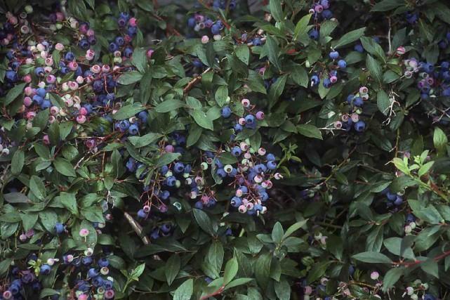 Le bleuetier en corymbe produit d'énormes quantités de... (www.jardinierparesseux.com)
