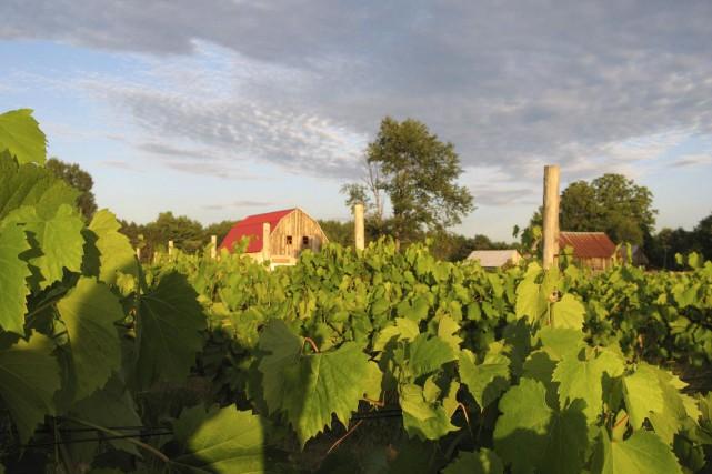 Plus de 5000 pieds de vigne sont en... (Courtoisie, Yves Simard)
