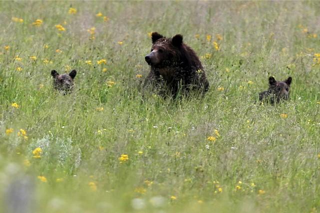 Un ourson grizzly s'est prêté à une manoeuvre dangereuse en grimpant sur un... (Photo archives Reuters)