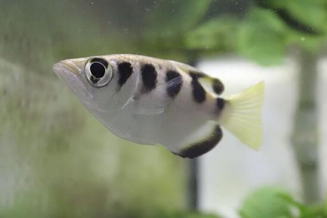 Le poisson-archera démontré son talent pour reconnaître les... (AFP)