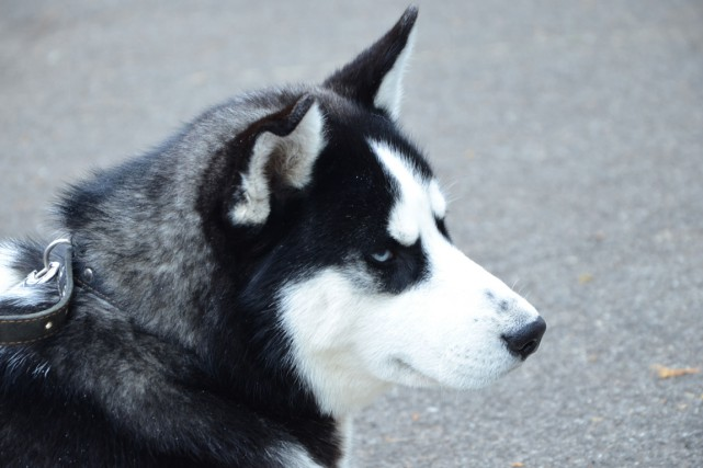 Un chien Husky... (123RF)