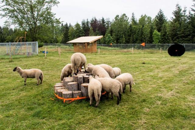 Les moutons s'amusent à grimper sur ces socles... (Photo Louise Tanguay)
