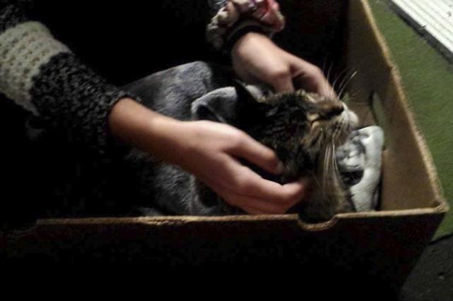 Ce chat blessé a été retrouvé sous la... (fournie par Annie Fiset)