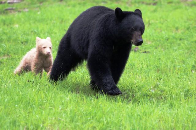 Un ourson couleur crème suit sa maman à... (Photo PC)