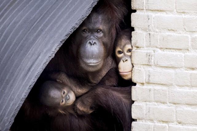 Un singe et des bébés singes.... (AFP)