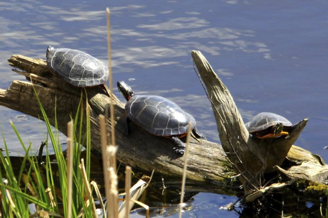 Des huit espèces de tortues d'eau douce présentes au Québec, la tortue peinte... (photo Robert Beaudry)