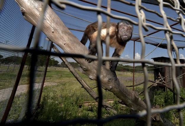 La clinique vétérinaired'Umberto Caraaccueille les animaux sauvages dans... (AFP, Filippo Monteforte)