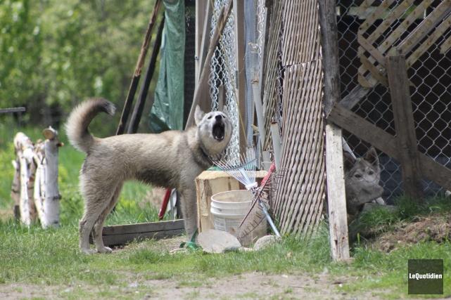 Dix chiens huskies, probablement des chiens de traîneau,... ((Photo Le Quotidien, Isabelle Tremblay ))