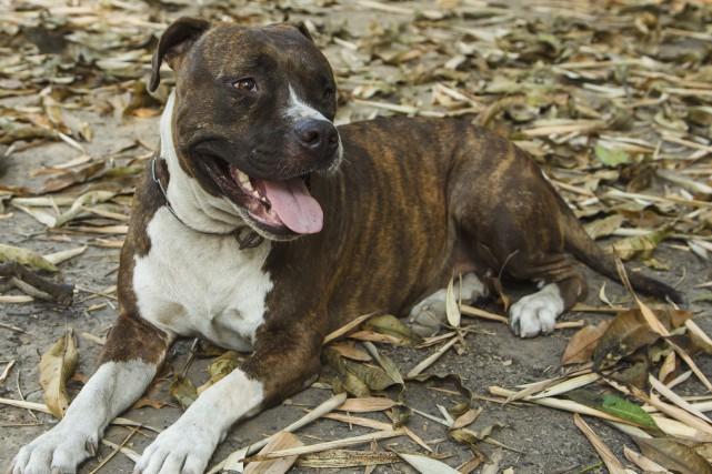 «Le pitbull est un chien hyperdangereux et il... (123rf, Janis Smits)