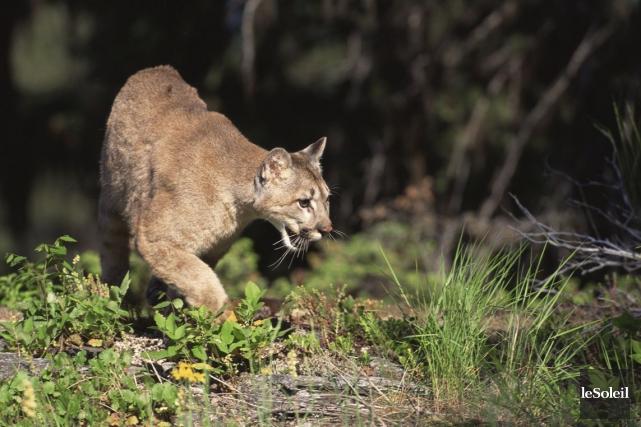 Environ 4500 cougars vivent au Colorado et ils... (Photothèque Le Soleil)