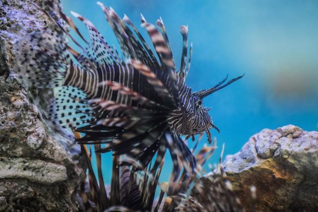 Des rascasses volantes (nom scientifique: pterois miles), «un... (PHOTO YAMIL LAGE, ARCHIVES AFP)