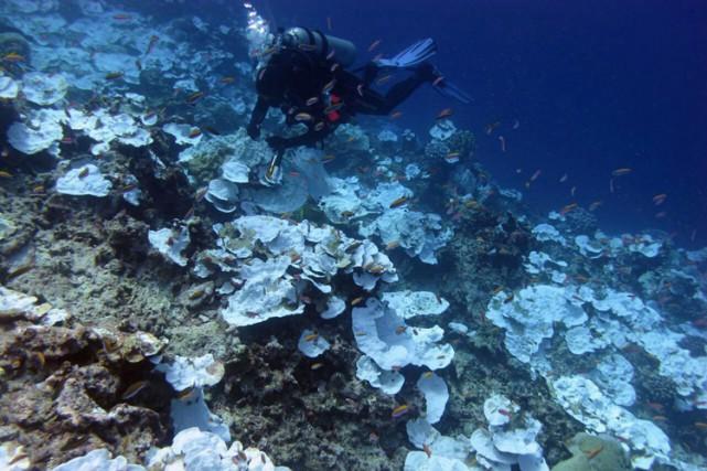 Quand le corail est soumis à un stress,... (PHOTO AP)