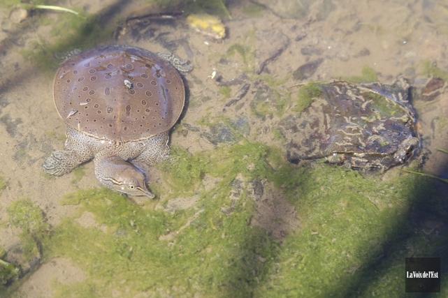 La présence de tortues-molles à épines dans la... (Janick Marois, La Voix de l'Est)