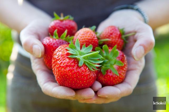 Les 500 producteurs québécois de fraises fournissent 52... (Photothèque Le Soleil)