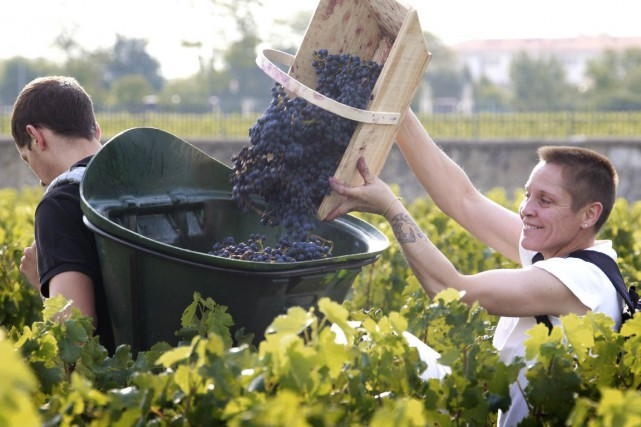 Vendanges dans un vignoble de Bordeaux.... (PHOTO ARCHIVES AFP)