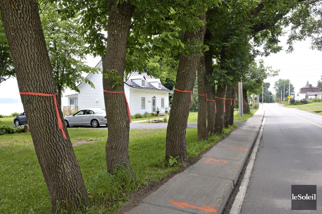 Écogénie avait réalisé un inventaire des 199 arbres... (Le Soleil, Patrice Laroche)