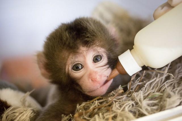 Un bébé macaque a vu le jour dernièrement... (Fournie par le Zoo de Granby)
