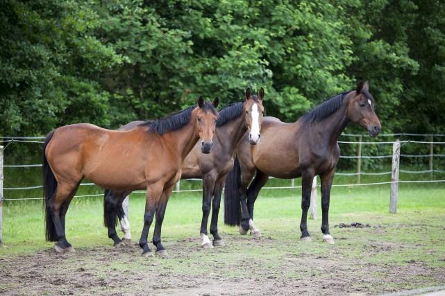 Des chevaux Warmblood. La vente d'une pouliche de... (123RF/purplequeue)