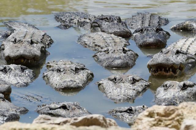 Dans les années1970, le nombre d'alligators avait fondu... (PHOTO RHONA WISE, ARCHIVES AFP)
