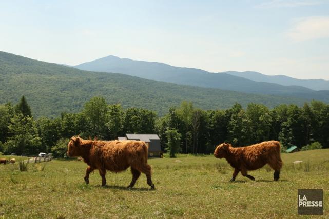 La vue des vaches écossaises qui broutent tranquillement dans le pâturage est... (PHOTO MARTIN CHAMBERLAND, LA PRESSE)