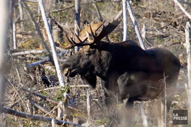 Un gros orignal mâle de la Forêt Montmorency... (La Presse, David Boily)
