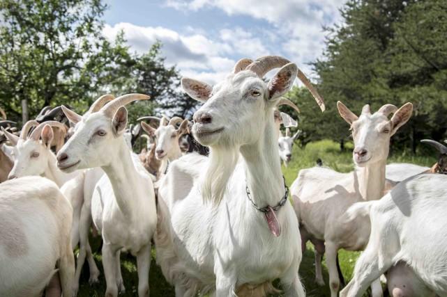Les chèvres deCassis et Mélisse... (Courtoisie)