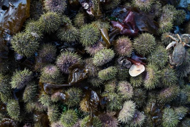 Lorsqu'on manipule des oursins, on peut utiliser un... (Photo Edouard Plante-Fréchette, La Presse)