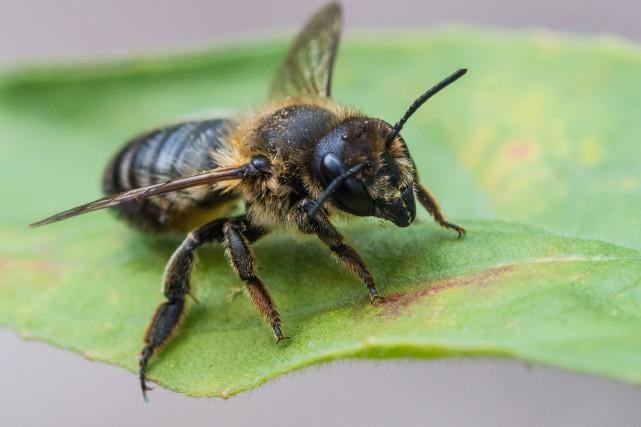 Une abeille mégachile vit environ 60 jours.... (Photo 123rf)