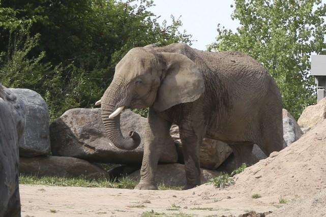 L'éléphant se couvre d'eau et de sable le... (Janick Marois)