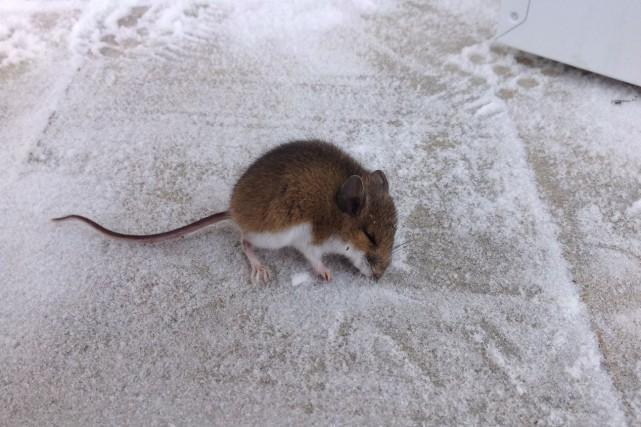 souris la maison finest une partie des souris saisies dans une maison de calgary with souris la. Black Bedroom Furniture Sets. Home Design Ideas