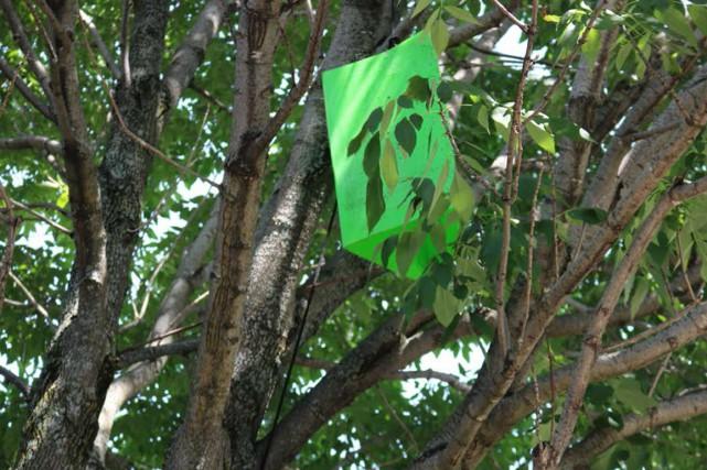 Des pièges pour l'agrile du frêne ont étéinstallés... (Photo fournie)