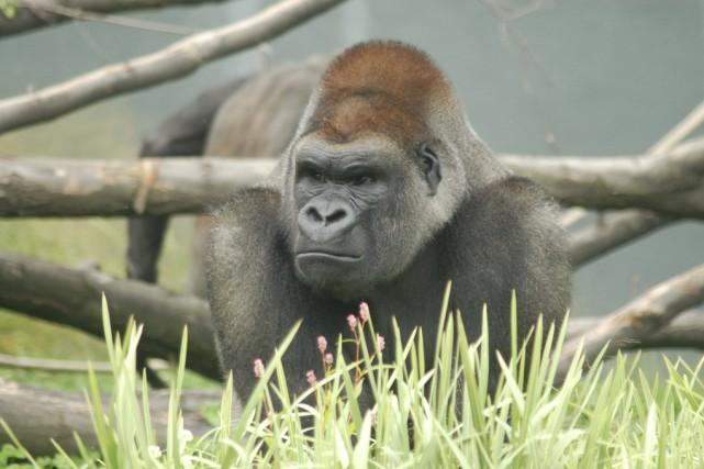L'aîné des trois gorilles résidant au Zoo de... (Fournie par le Zoo de Granby)