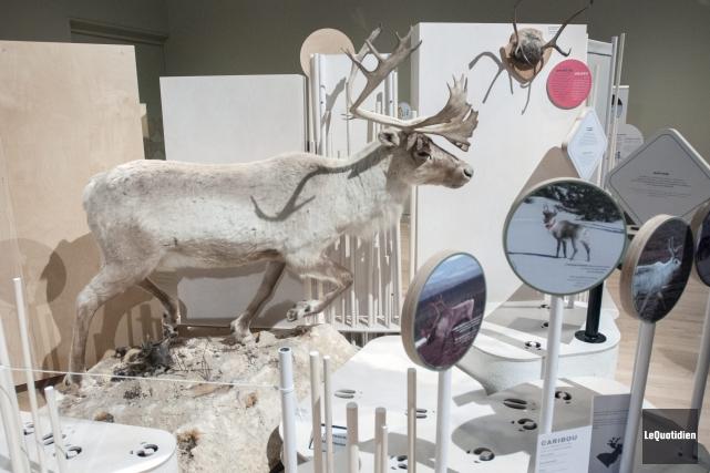 L'exposition Panaches: caribous et autres cervidés du Canadaest... (Photo Le Quotidien, Michel Tremblay)