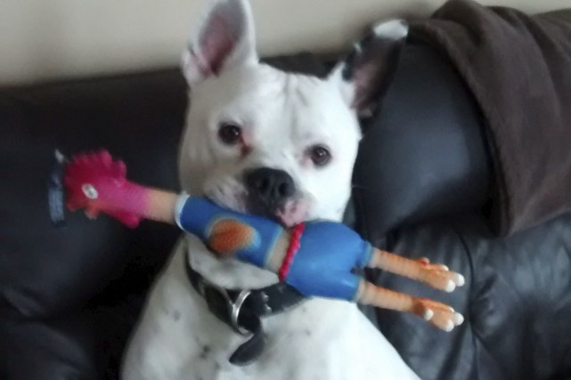 Toxon, un chien de type pitbull de plus... (Photo fournie)