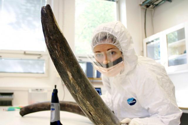 Une scientifique inspecte une défense de mammouth pour... (Archives AP)