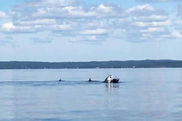 Un requin chassant des marsouins communs dans la... (La Presse Canadienne)