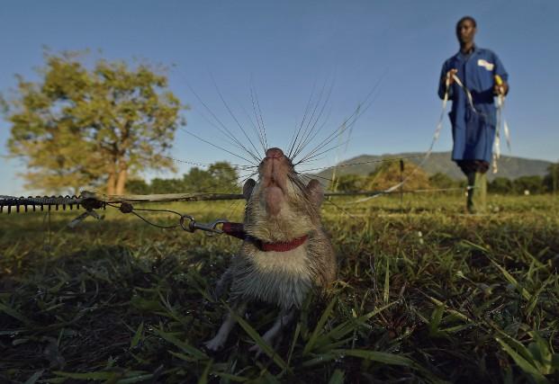 Des rats comme celui-ci subissent un entraînement afin... (AFP, Carl de Souza)