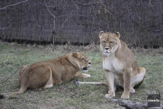 Le confinement des lions a été levé mardi.... (Archives La Voix de l'Est, Julie Catudal)