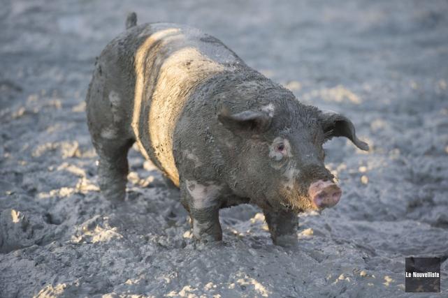 La course au cochon graissé.... (Stéphane Lessard, Le Nouvelliste)