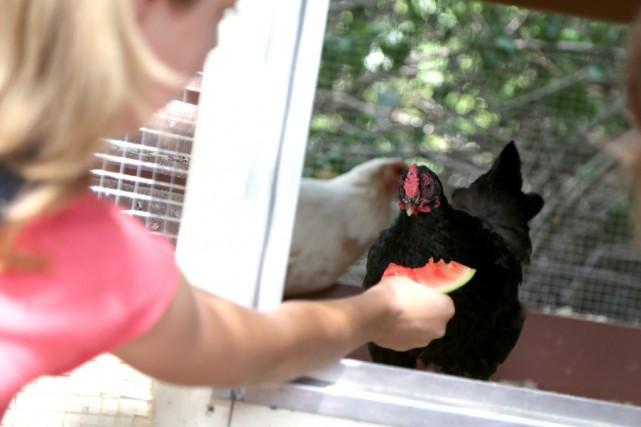 Des poules urbaines... (Julie Catudal)