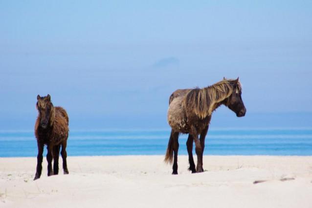 Les chevaux sauvages de l'île de Sable, au... (Photo Marie Tison, archives La Presse)