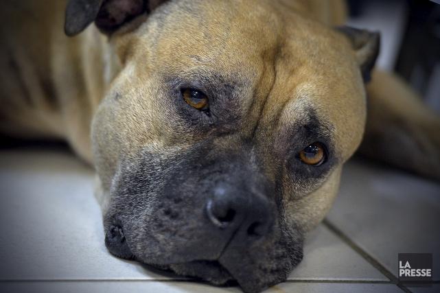 ÉDITORIAL / Après des mois de débat sur le bannissement des chiens de type... (Archives, La Presse)