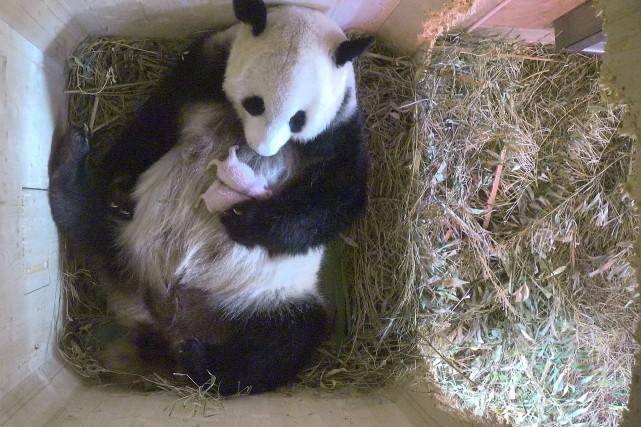 Les deux bébés pandas, qui n'ont pas encore... (AP)
