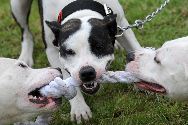 Des pitbulls se disputent un bout de corde.... (PHOTO MICHAL CIZEK, ARCHIVES AFP)