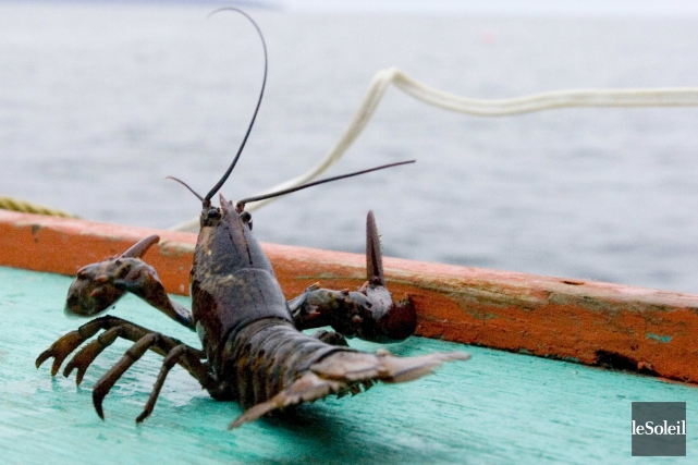 Le homard a la cote ces jours-ci, grâce... (Photothèque Le Soleil)