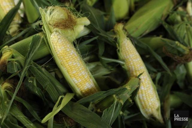 Le maïs est arrivé à temps cette année... (La Presse)